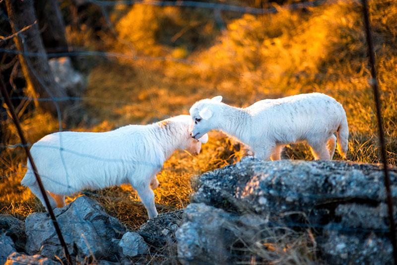 Visit Novalja - Pag lamb